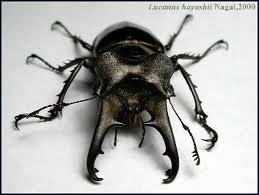 Horned beetle 2