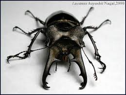 Horned beetle 2